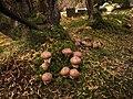 2012-10-12 Suillus luteus (L.) Roussel 271431.jpg