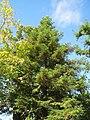 20130910Metasequoia glyptostroboides2.jpg