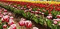 2013 Tesselaar Tulip Festival (9873692473).jpg