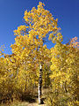 2014-10-05 14 18 13 Aspen with autumn foliage coloration which is in the process of being cut down by beavers along the Changing Canyon Nature Trail in Lamoille Canyon, Nevada.JPG