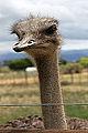2014-12-02 12h18 Ostrich Farm anagoria.JPG