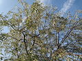 20140907Elaeagnus angustifolia2.jpg