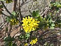 2015-03-16 14 16 25 Flowers on a bush at the Northeastern Nevada Museum in Elko, Nevada.JPG