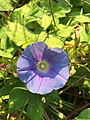 2015-08-29 07 46 47 Morning Glory flower along Tranquility Court in the Franklin Farm section of Oak Hill, Fairfax County, Virginia.jpg