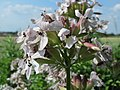 20150625Saponaria officinalis2.jpg