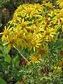 20150719Jacobaea vulgaris1.jpg