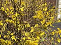 2016-03-18 13 30 47 Forsythia blossoms along Tranquility Court in the Franklin Farm section of Oak Hill, Fairfax County, Virginia.jpg