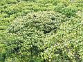 20160128 Sri Lanka 4119 crop Sinharaja Forest Reserve sRGB (25743512286).jpg