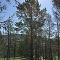 2017. Undamaged Scots Pine (Pinus sylvestris) growing among Siberian larch (Larix sibiricus) being defoliated by Siberian silkmoth (Dendrolimus sibericus). Bulgan Province, Mongolia. (39581831401).jpg