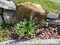 2018-05-13 (177) Boraginaceae (forget-me-not family) at Bichlhäusl in Frankenfels, Austria.jpg