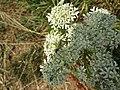 2018-07-26 Meadowsweet, (Filipendula ulmaria), Trimingham.JPG