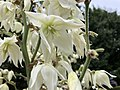 2019-06-12 07 56 38 Yucca flowers along Indale Court in the Franklin Farm section of Oak Hill, Fairfax County, Virginia.jpg
