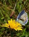 20190721 Leeuwenhorstbos - Icarusblauwtje (Polyommatus icarus) v2.jpg