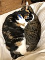 2020-05-05 05 53 11 A Calico cat and a tabby cat cuddling on a couch in the Franklin Farm section of Oak Hill, Fairfax County, Virginia.jpg