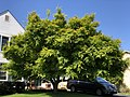 2020-05-13 15 59 08 A green-leaved Japanese Maple along Virginia Willow Drive in the Franklin Glen section of Chantilly, Fairfax County, Virginia.jpg