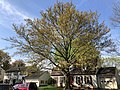 2021-04-15 09 58 09 A Water Oak blooming and leafing out in spring along White Barn Lane in the Franklin Farm section of Oak Hill, Fairfax County, Virginia.jpg