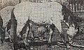 2letnie źrebięta konika polskiego, Puszcza Białowieska, około 1960.jpg