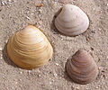 3 Chamelea gallina shells.jpg
