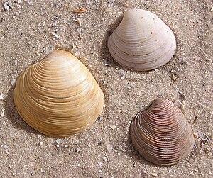 English: 3 Chamelea gallina shells Français : ...