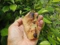 4087Ants Common houseflies foods delicacies of Bulacan 48.jpg