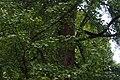 46-101-5033 гінкго дволопатеве.jpg