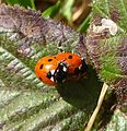 7-spot Ladybird. Coccinella 7-punctata. Mating pair - Flickr - gailhampshire.jpg