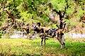 AFRICAN WILD DOG (14050109601).jpg