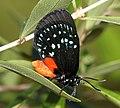 ATALA (Eumaeus atala) (2-4-2016) fairchild tropical gardens, miami-dade co, fl -(6) (24947812772).jpg