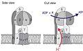 ATPsynthase.jpg