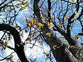 AZ0016. Ulmus Purpurea new canopy-leaves. Warriston Cemetery, Edinburgh.jpg