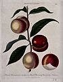 A branch of a Prunus cultivar bearing both peaches and necta Wellcome V0044336.jpg