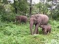 A family group of elephants in Mudumalai TR AJTJohnsingh.jpg