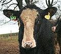 A friendly beast by Plumber's Wood. - geograph.org.uk - 1623176.jpg