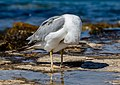 A gull cleaning its feather, Umag, Istria, Croatia.jpg