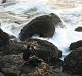 A photographer between waves and mussels 1.jpg