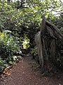 A rhododendron tunnel on Nesscliffe Hill - geograph.org.uk - 1596891.jpg