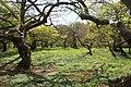 A small glade amongst the dwarf-beech in Gryteskogs naturreservat.jpg