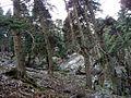 Abies pinsapo Pinsapar de la Yedra 1.jpg