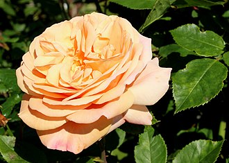 Rosa 'Abraham Darby' - Flower colours under warm conditions