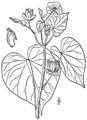 Abutilon theophrasti BB-1913.png