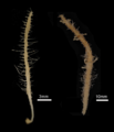 Abyssocladia spp.png