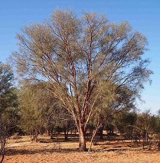 Acacia cyperophylla - Image: Acacia cyperophylla habit