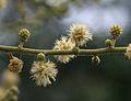 Acacia leucophloea flowering in Vanasthalipuram, Hyderabad, AP W IMG 9222.jpg