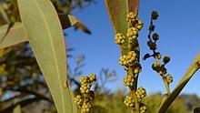 Acacia Rubida Wikipedia