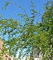 Acacia smallii 1.jpg