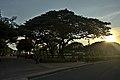 Acacia tree in Rizal Park.jpg