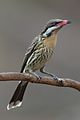 Acanthagenus rufogularis - Spiny-cheeked Honeyeater.jpg