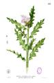 Acanthus ilicifolius Blanco1.153.png