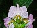 Acanthus montanus 004.JPG