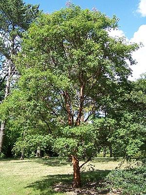 Acer griseum - Acer griseum at the Morton Arboretum Accession 836-58-7
